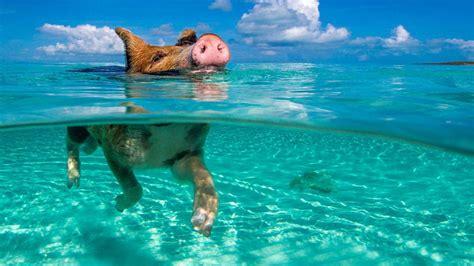 pigbeach la playa de cerdos nadadores blog hogarmania