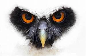 Spectacled owl. by Evey-Eyes on deviantART