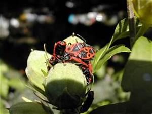 Feuerwanzen Im Garten : tiere ~ Lizthompson.info Haus und Dekorationen