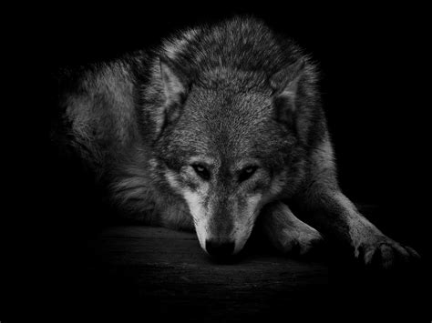 Wolf Wallpaper by Lone Wolf Wallpaper 57 Images