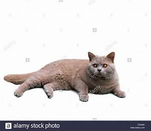 british shorthair cat on white background Stock Photo ...