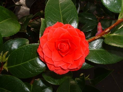 types of camellia flowers peaceful garden camellia facts and pictures
