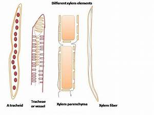 Wiring And Diagram  Diagram Of Xylem Fibre