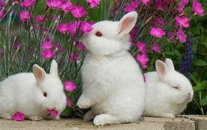 Rabbit Wallpapers Desktop Bunny Bunnies Rabbits Flowers