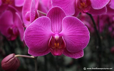 orchid flower moth orchid pictures phalaenopsis pictures