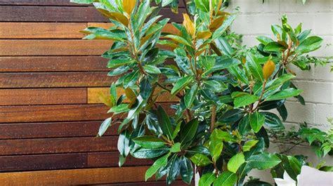 planter un magnolia en pot 28 images design plant and