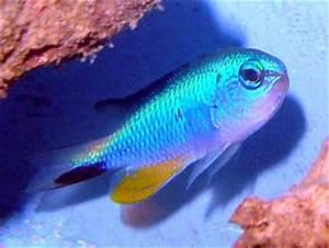Fish Index Neon Damselfish Pomacentrus alleni