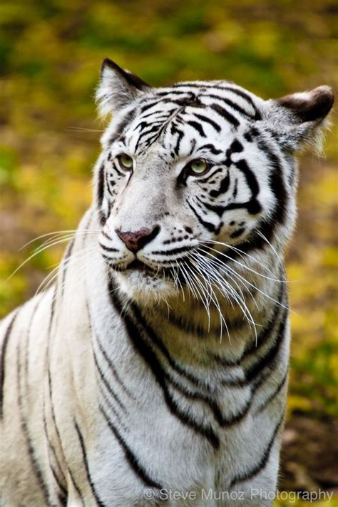 Best Images About Tiger Mutations Pinterest
