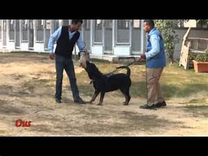 eastwind dog name jolia breed rottweiler funnydogtv With rottweiler guard dog training