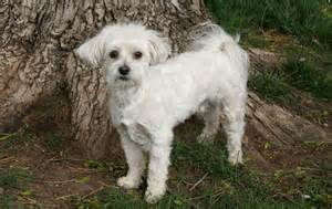 top five dogs that dont shed dog breeds picture