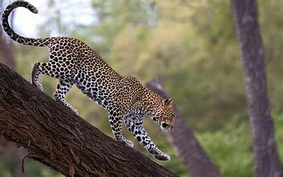 Leopard Wild Animal Tree Down Animals Wallpapers