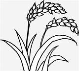 Rice Plant Drawing Hand Lines Getdrawings Painted sketch template
