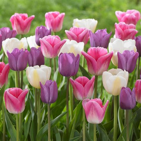 longfield gardens tulip soft beauty mix bulbs  pack