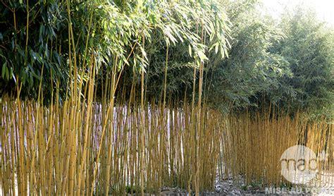 quand planter bambou en pot