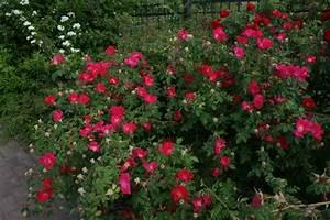 Wilde Triebe Rosen : rosa gallica scharlachglut gallicarose rosenschule ruf ~ Lizthompson.info Haus und Dekorationen