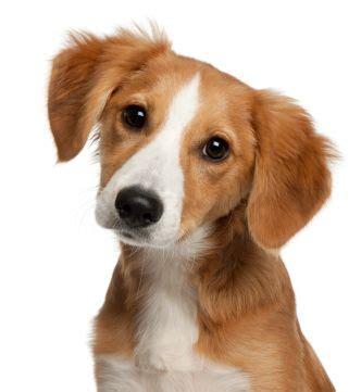 kooikerhondje kooiker hound small dutch waterfowl dog