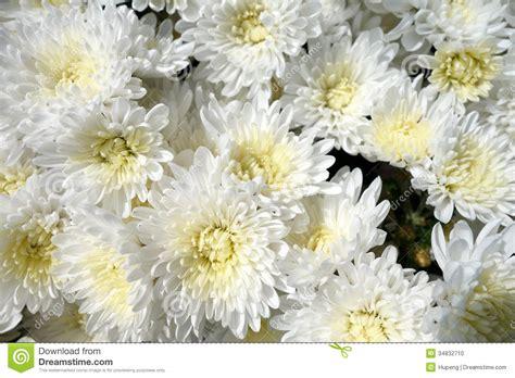 white chrysanthemum flowers stock photo image