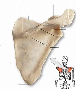 33 Label The Parts Of The Scapula In The Following