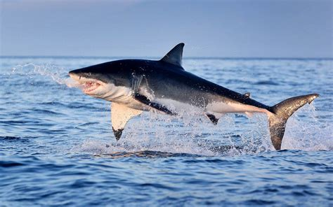 great white shark jumping   water hd wallpaper