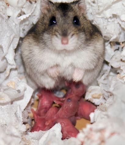 soins aux b 233 b 233 s le hamster russe