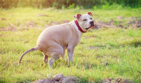 diarrhea in dogs 8 causes of bloody diarrhea in dogs treatments and case study