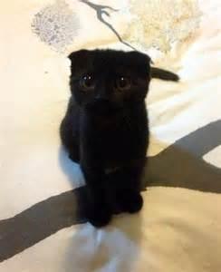 Baby Scottish Fold Cats