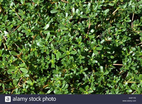 portulak pflanzen kaufen gemeinsamen portulak oder fuchsschwanz portulaca oleracea