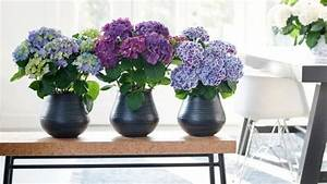 Hortensie Als Zimmerpflanze : hortensie zimmerpflanze des monats april ~ Lizthompson.info Haus und Dekorationen