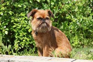 brussels griffon brussels griffon pet insurance dog