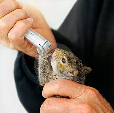 feeding baby squirrels