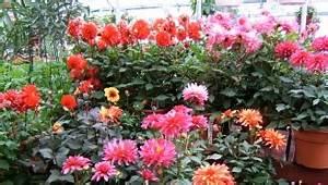 Quand Planter Des Dahlias : les bulbes qui fleurissent l t ~ Nature-et-papiers.com Idées de Décoration