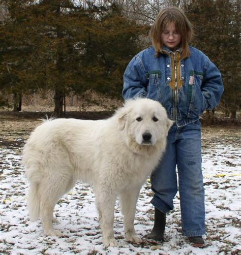 Great Pyrenees Shedding Help by Great Pyre