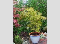 PlantFiles Pictures Japanese Maple 'Kamagata' Acer