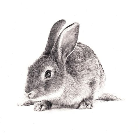 Rabbit Drawing Rabbit Drawing By Bly Pope
