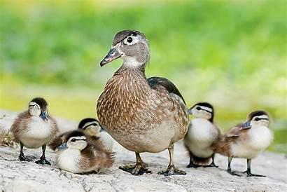 Duck Wood Female Chicks Ducklings Ducks Mo