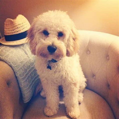 Medium Sized Dogs Low Shedding by Best 25 Non Shedding Dogs Medium Ideas On