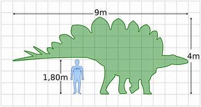 Stegosaurus Svg Dinosaur Human Compared Ankylosaurus Wikipedia