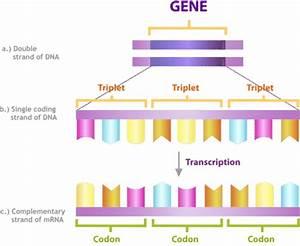 Bioflix Activity Dna Replication Dna Replication Diagram