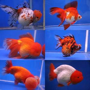 Reading Lovers  Goldfish  Secrets And Benefits