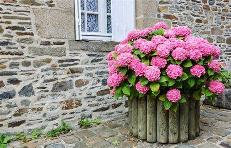 will hydrangeas grow in pots 25 hydrangea flower pot and planter arrangements photos