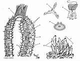 Sponge Coloring Phylum Porifera Anatomy Colouring Sheet Animal Worksheets Sponges Biology Sheets Worksheet Biologycorner Cells Animalia Kingdom Marine Cartoon Spicules sketch template