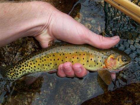 Native Trout Fly Fishing Greenback Cutthroat Trout