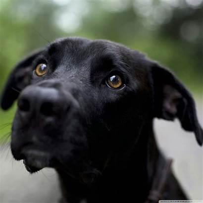 Labrador Retriever Tablet Wallpapers