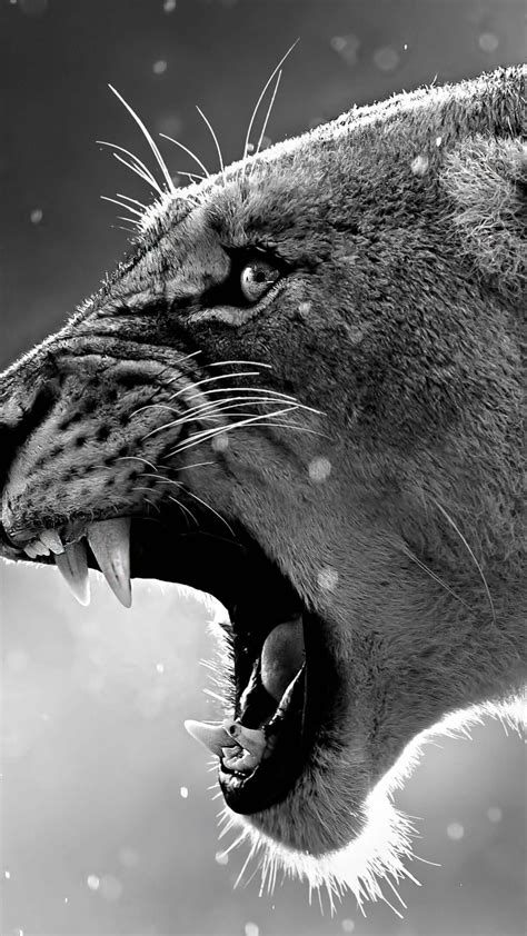 wallpaper lion roaring  animals