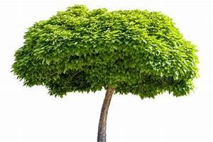 Kugel Trompetenbaum Schneiden : kugel trompetenbaum richtig pflegen ~ Lizthompson.info Haus und Dekorationen