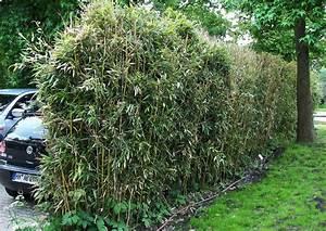 Bambus Sichtschutz Pflanzen : schnellwachsende sichtschutzpflanzen ~ Yasmunasinghe.com Haus und Dekorationen