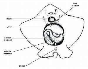 2  Basic Internal Anatomy Of The Brown Stingray  Dasyatis