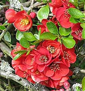 Chaenomeles Japonica Japanese Flowering Quince
