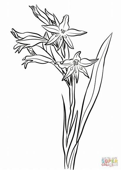 Gladiolus Coloring Flower Drawing Pages Flowers Cuspidatus