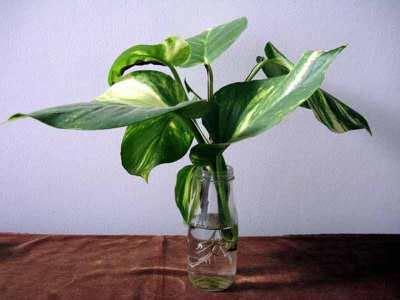 tanaman hias philo sirih contoh tanaman hias hidroponik untuk mempercantik rumah